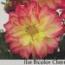 DAHLIA DAHLIETTA ILSE CHERRY BICOLOR (84 Plantas).