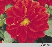 DAHLIA DAHLIETTA ANNA (84 Plantas).