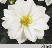 DAHLIA DAHLIETTA BLANCA (84 Plantas).