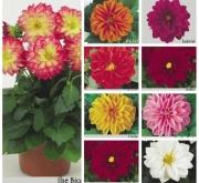 DAHLIA DAHLIETTA MIX (84 Plantas).