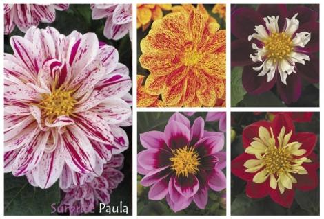 DAHLIA DAHLIETTA SURPRISE MIX (84 Plantas).