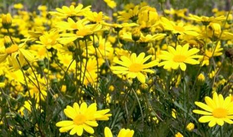 EURYOPS PECTINATUS HOJA VERDE (84 Plantas).