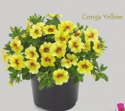 CALIBRACHOA CONGA YELLOW