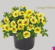 CALIBRACHOA CONGA YELLOW (125 Plantas).