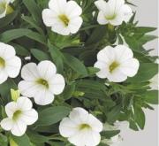 CALIBRACHOA CONGA WHITE (125 Plantas).