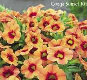 CALIBRACHOA CONGA SUNSET KISS (125 Plantas).