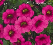 CALIBRACHOA CONGA ROSE KISS