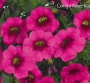 CALIBRACHOA CONGA ROSE KISS (125 Plantas).