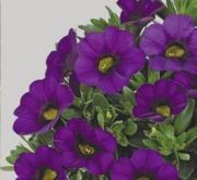 CALIBRACHOA CONGA BLUE (125 Plantas).