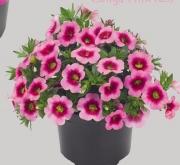 CALIBRACHOA CONGA PINK KISS (125 Plantas).
