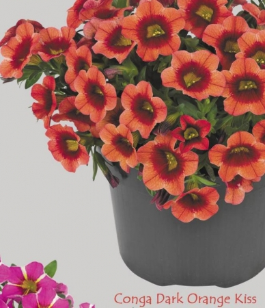 CALIBRACHOA CONGA DARK ORANGE (125 Plantas).