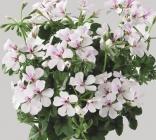 Geranios Pelargoniums Peltatum Villetta Simple