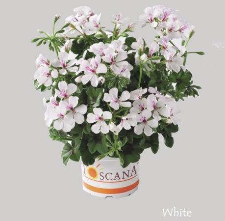 GERANIO PELTATUM VILLETTA WHITE (84 Plantas).