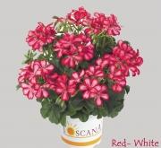 GERANIO PELTATUM VILLETTA RED WHITE (84 Plantas)