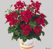 GERANIO PELTATUM VILLETTA RED (84 Plantas)