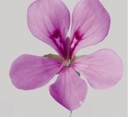 GERANIO PELTATUM VILLETTA LILAC (84 Plantas)