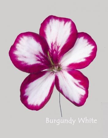 GERANIO PELTATUM VILLETTA BURGUNDY WHITE (84 Plantas).