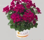 GERANIO PELTATUM VILLETTA BURGUNDY (84 Plantas)