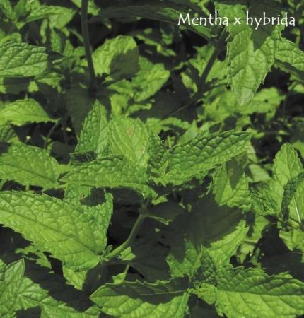 MENTA SATIVA (125 Plantas).