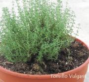 TOMILLO VULGARIS COMPACTA (125 Plantas).