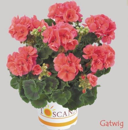 GERANIO ZONALE TOSCANA SMART DEEP SALMON  HV (84 Plantas)
