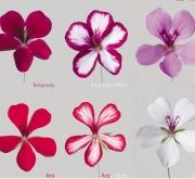 GERANIO PELTATUM VILLETTA MIX (84 Plantas).