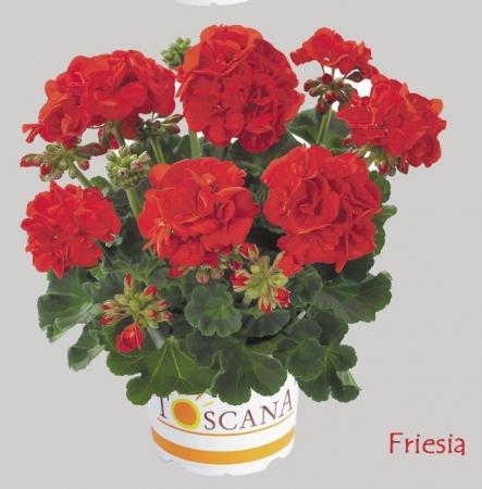 GERANIO ZONALE TOSCANA ECO SCARLET (FRIESIA) HV (84 Plantas).