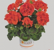 GERANIO ZONALE TOSCANA ECO ORANGE (SALLY) HV (84...