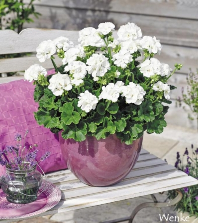GERANIO ZONALE TOSCANA SMART WHITE (WENKE) HV (84 Plantas).