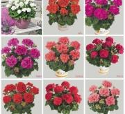 GERANIO ZONALE TOSCANA MIX HV (84 Plantas).