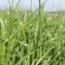 RAY GRASS HIBRIDO GALA (10 Kgr.).
