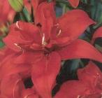 Liliums Asiáticos Dobles