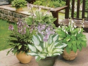 Hostas, Commelinas y Crinums