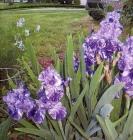 Iris Germánica, Asters, Iris Sibírica y Heucheras