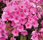 Phlox, Bletillas, Polianthes y Tigridias