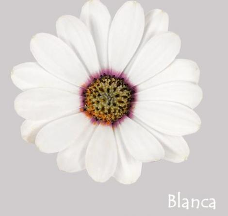 OSTEOSPERMUM ASTRA WHITE (125 Plantas).