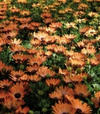 OSTEOSPERMUM ASTRA ORANGE SUNRISE