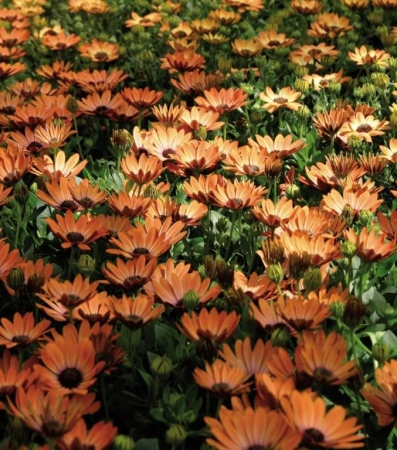 OSTEOSPERMUM ASTRA ORANGE SUNRISE (125 Plantas).