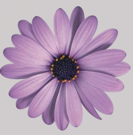 OSTEOSPERMUM CAPE DAISY PURPLE