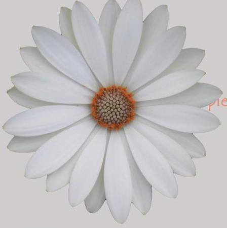 OSTEOSPERMUM CAPE DAISY WHITE (125 Plantas).