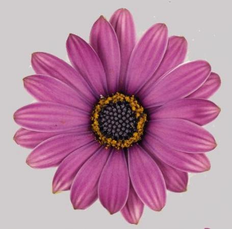 OSTEOSPERMUM ASTRA ROSE MAGIC (125 Plantas).