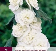 ALCEA ROSEA DOUBLE WHITE