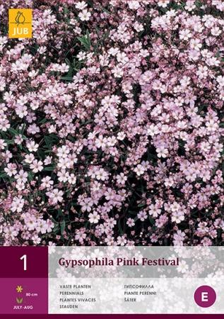 GYPSOPHILA PINK FESTIVAL