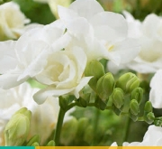 FREESIA DOBLE WHITE