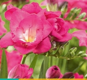FREESIA DOBLE ROSA