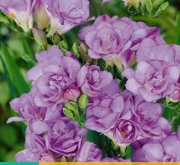FREESIA DOBLE BLUE