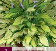 HOSTA LADY GUINEVERE ®
