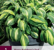 HOSTA RAINBOW'S END