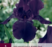 IRIS GERMANICA NIGHT OWL
