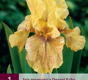 IRIS GERMANICA DESERT ECHO